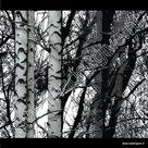 Raamfolie Bomen (verticaal) 45 cm